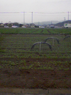 ニンジン畑。